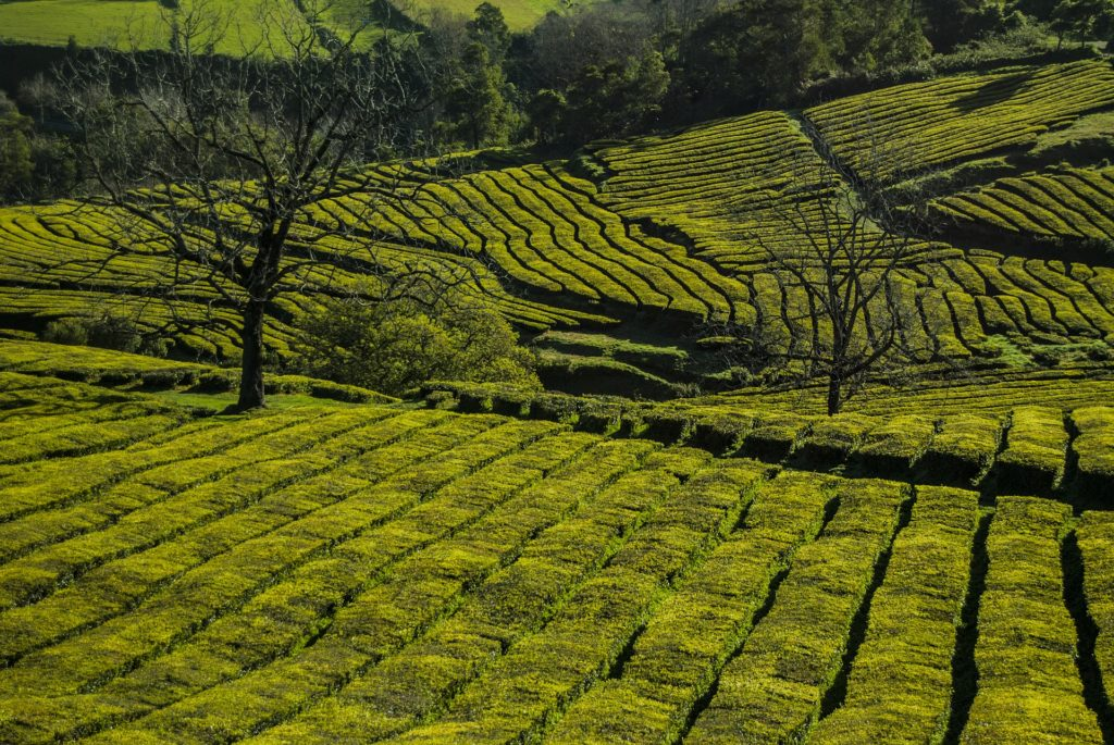 Чайные плантации на Азорских островах