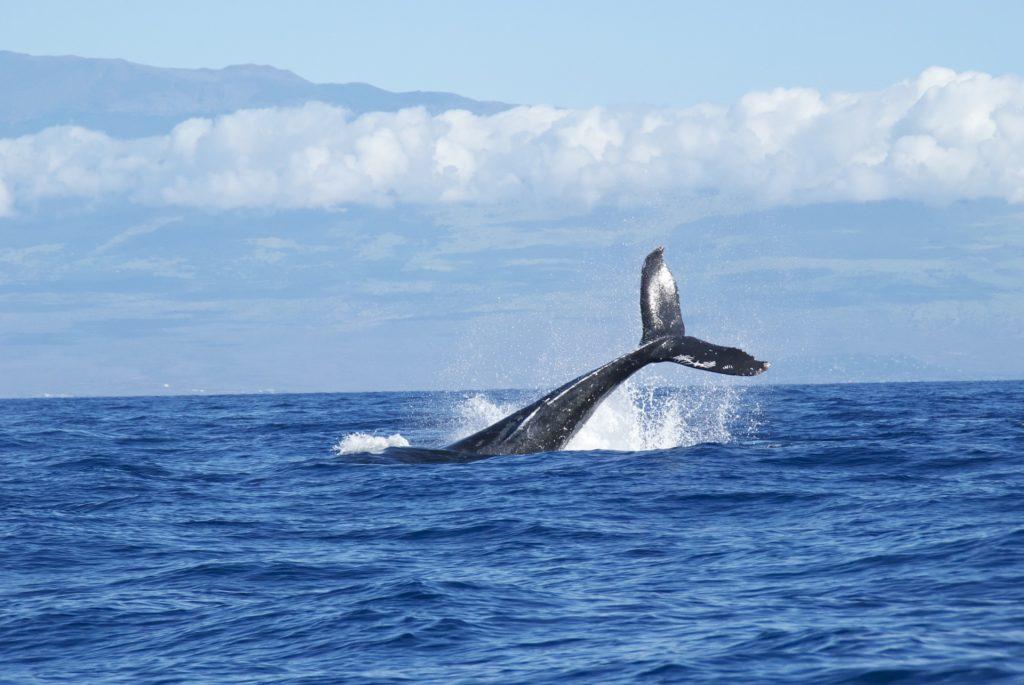 Китовый промысел остров Пику